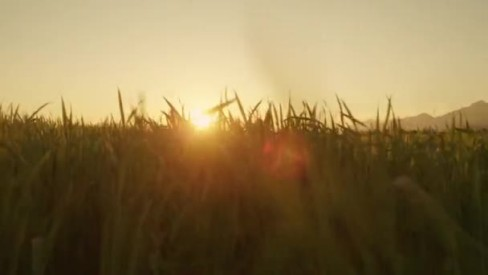 depositphotos_60683665-stock-video-sun-shining-through-wheat-field